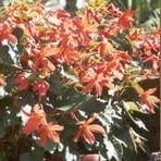 Bauernbegonien -Begonia- Bertini -0