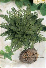 Rose von Jericho - Selaginella --95