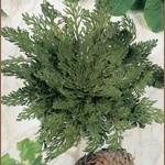 Rose von Jericho - Selaginella --0