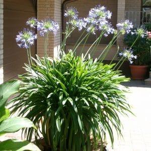 Afrikanische Schmucklilie - Agapanthus - Blau-0