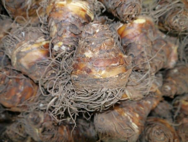 Schopflilie - Eucomis - Zierananas-106