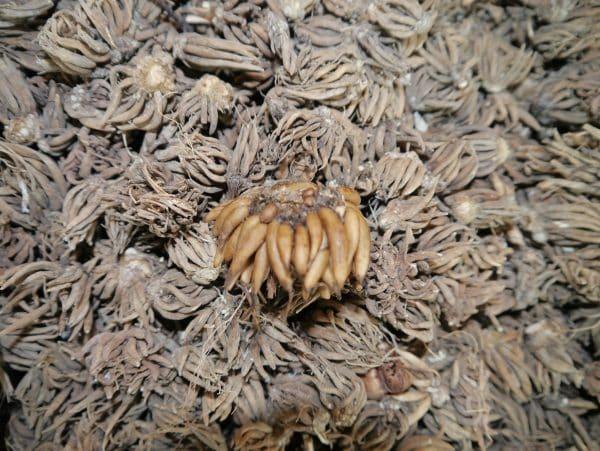 Ranunkeln - Ranunculus - Bunte Mischung!-109