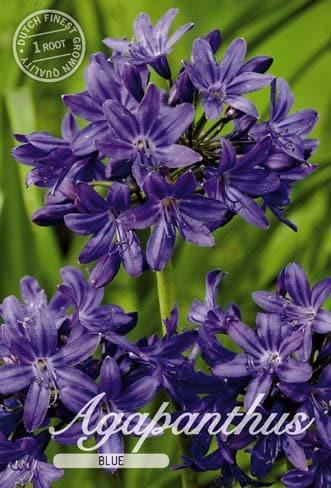 Afrikanische Schmucklilie - Agapanthus - Blau-286