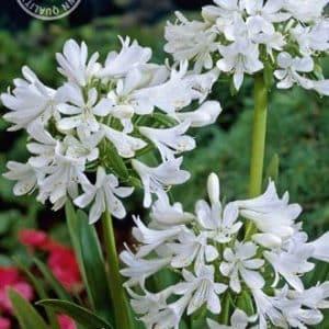 Afrikanische Schmucklilie - Agapanthus - Weiß-0