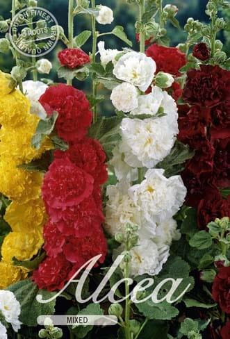 Stockrose - Alcea - Bunte Mischung!!!-185