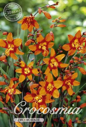 Montbretien - Crocosmia - in Orange!-174