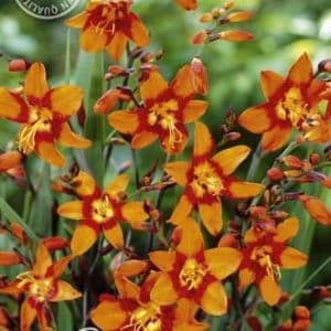Montbretien - Crocosmia - in Orange!-0