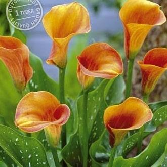 Callas - Zantedeschia - Orange-0