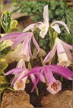 Tibet Orchidee - Pleonie - RARITÄT!!!-102
