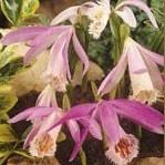 Tibet Orchidee - Pleonie - RARITÄT!!!-0