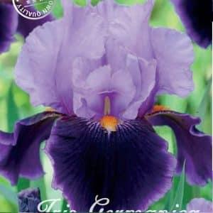 Iris Germanica - Schwertlilien in 3 Farben!-0