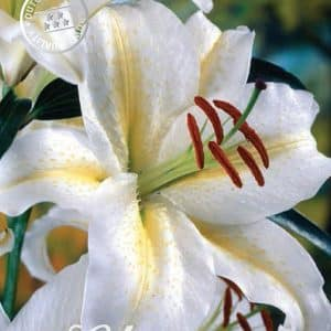 Lilien - Orientalische Seltenheiten! -0