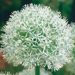 3. Allium Mont Everest Riesenzierlauch Weiß!!!-0