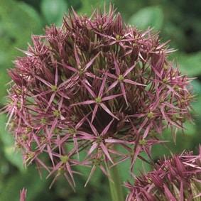 4. Allium christophii - Schmucklauch!-0