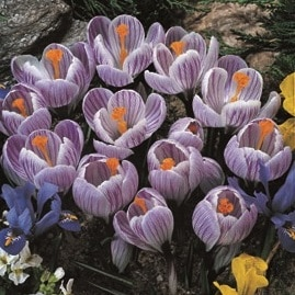 crocus gestreift