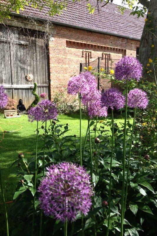 2. Allium Gladiator Zierlauch -lila--688