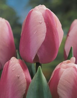 Tulpen Holland Beauty-625