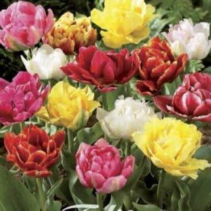 Niedrig Tulpen