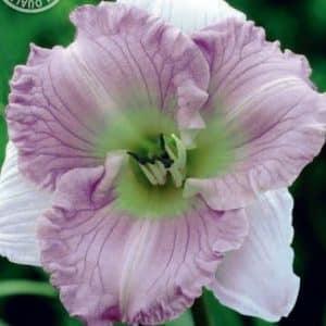Taglilien - Hemerocallis in 3 Farben!-0