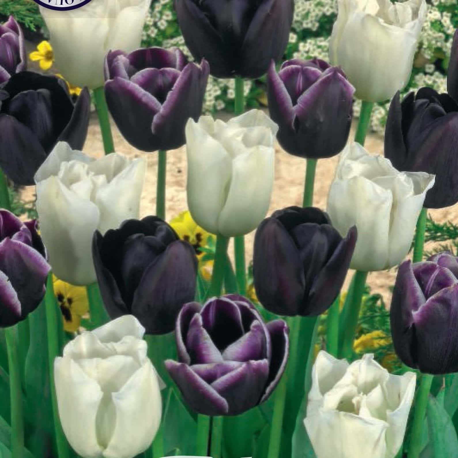 Tulpen Black Jack