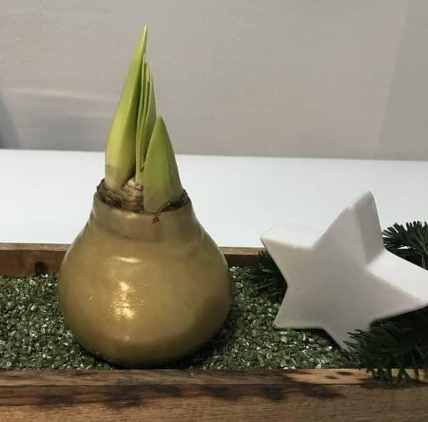 Amaryllis in Wachs Gold